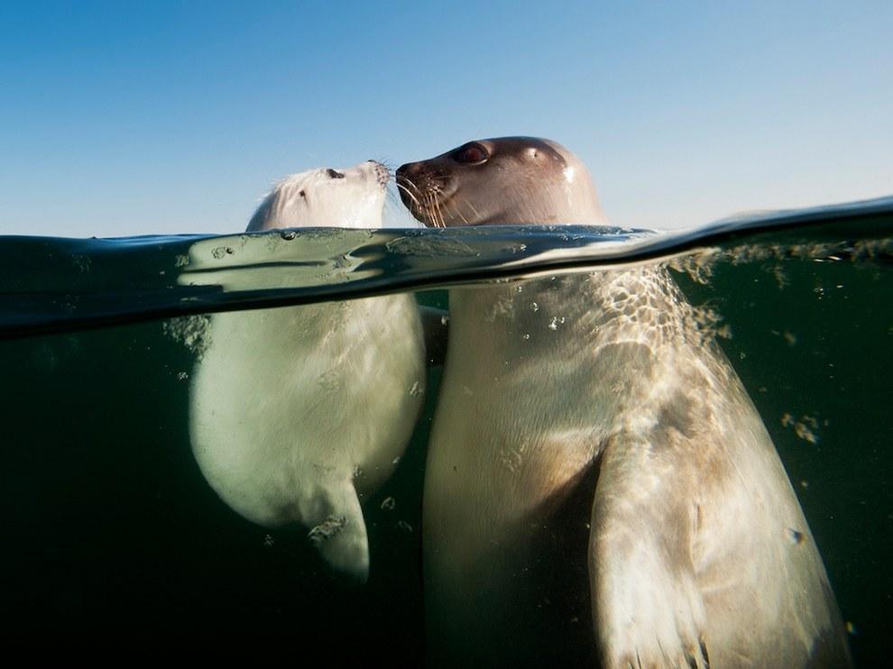 Гренландские тюлени, залив Святого Лаврентия