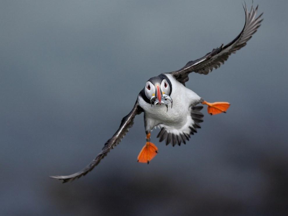 Заходящий на посадку тупик на островах Трешниш несет еду птенцу