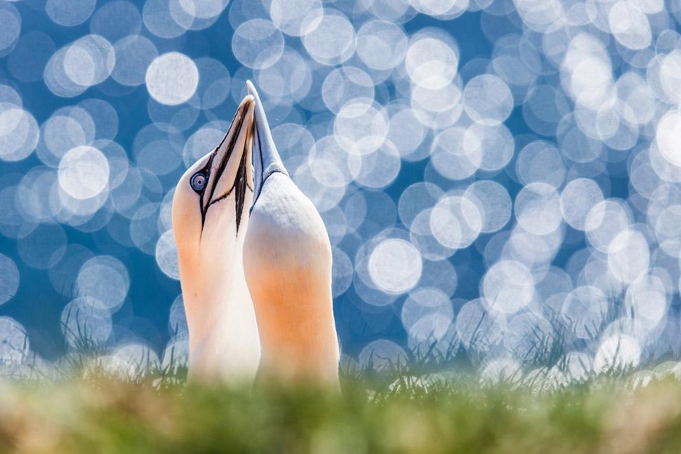 Фантастические северные бакланы на архипелаге Гельголанд в Северном море