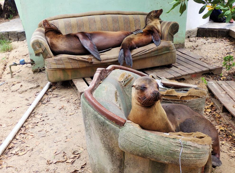 Тюлени на острове Изабелла, Галапагосы