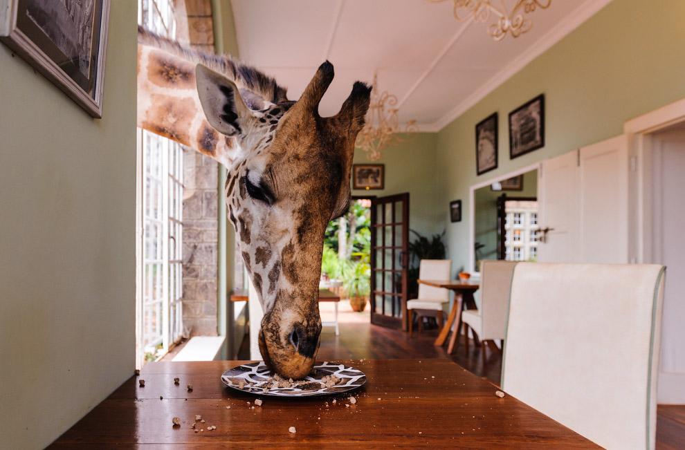 Местные жирафы в Найроби почти ручные, они могут есть с рук или с вашей тарелки