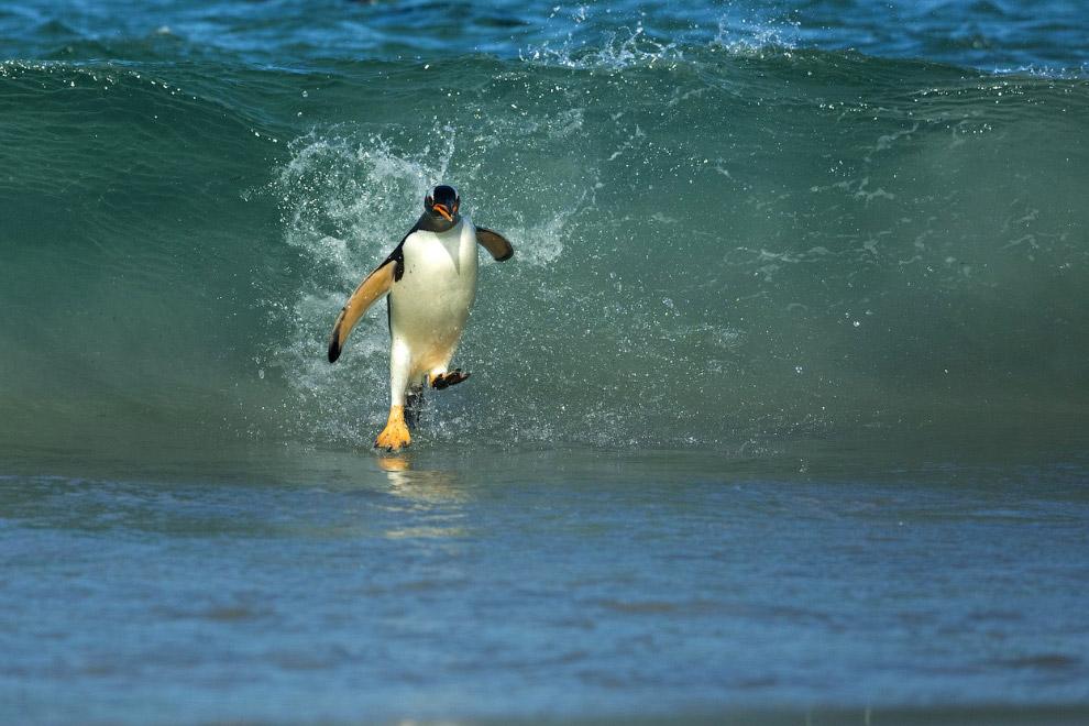 Папуанский пингвин на Фолклендских островах