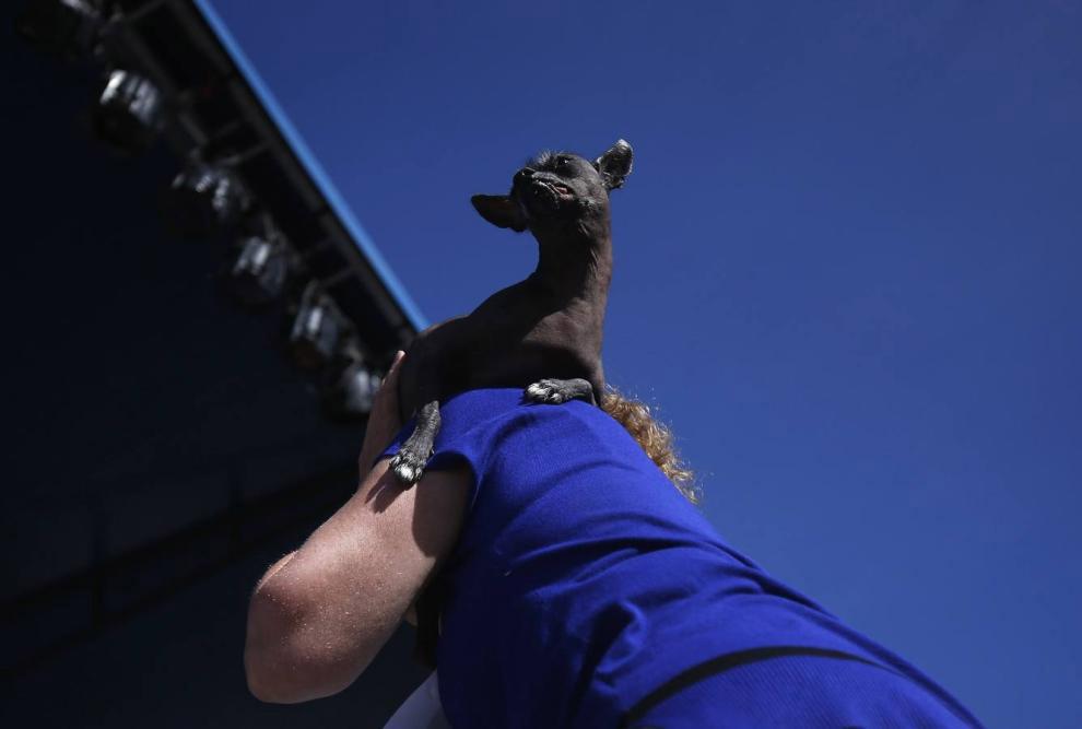 Мексиканская голая собака — Ксолоитцкуинтли