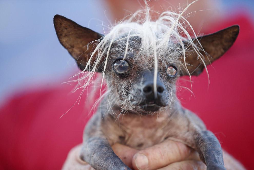 Необычное: самая уродливая собака 2014
