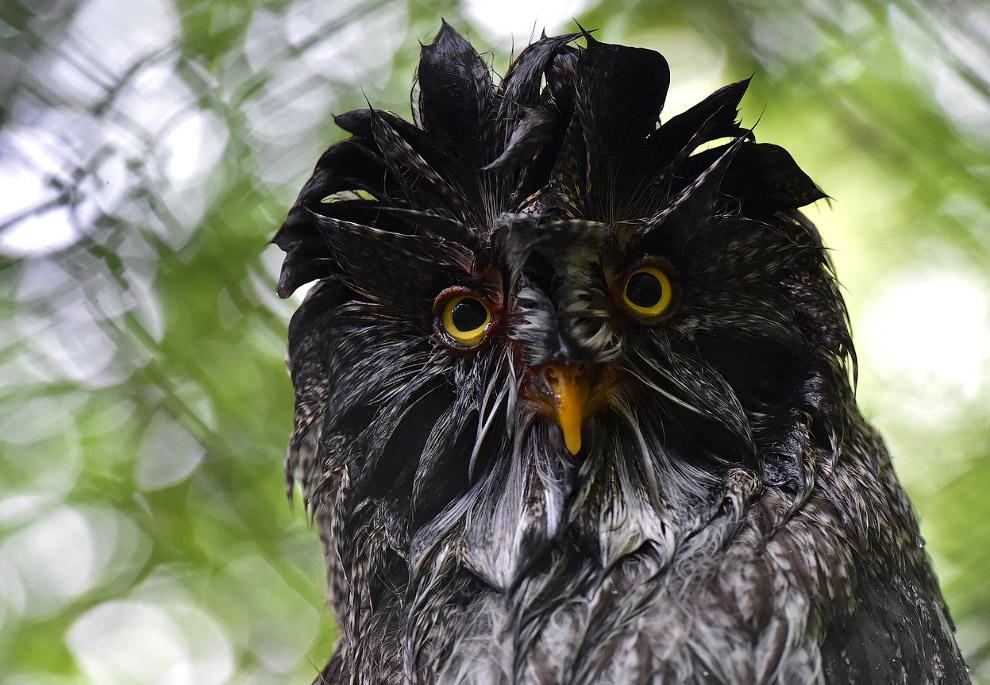 Так забавно выглядит сова после ливня