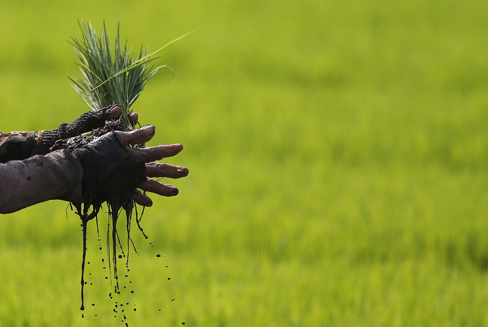 Фермер на рисовом поле в провинции Западная Ява, Индонезия