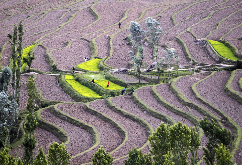 Фермеры работают на рисовых полях к северу от Сринагара