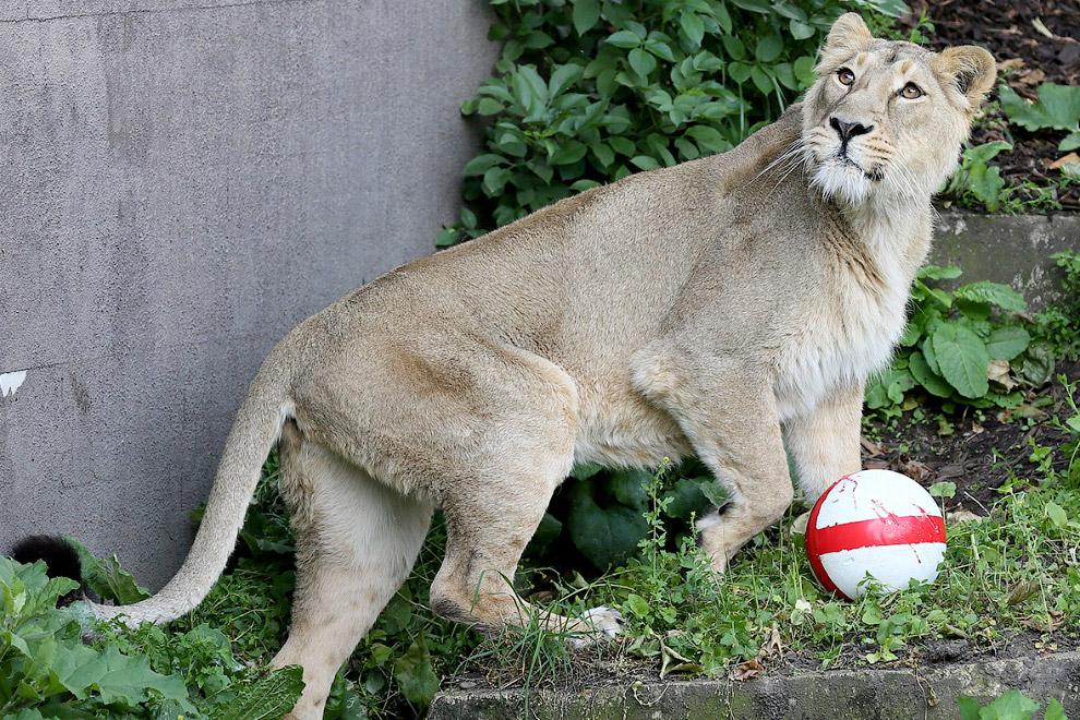 Азиатский львица играет с мячом, раскрашенным в цвета английского флага