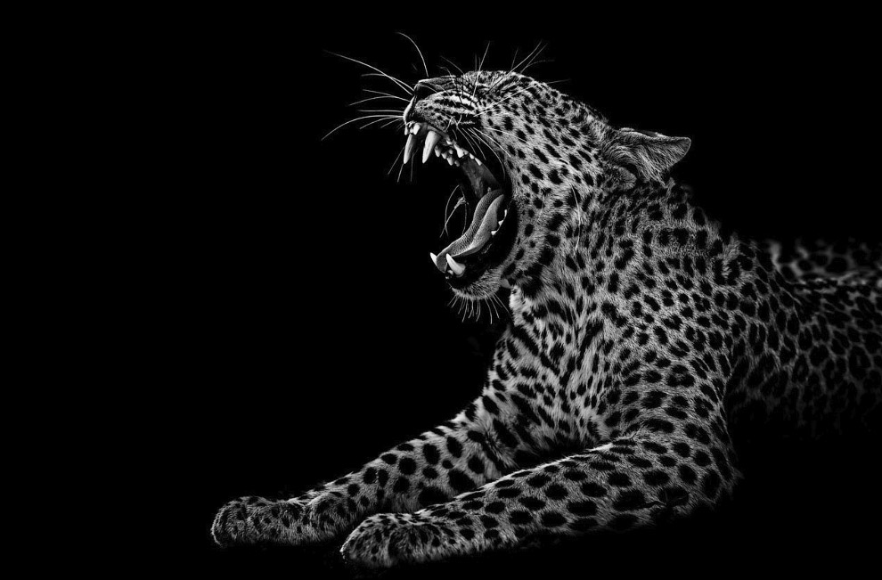 Леопард в заповеднике Центральная Калахари, Ботсвана