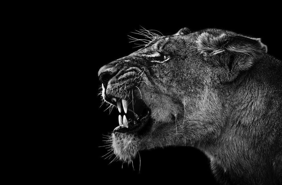 Злая львица в дельте реки Окаванго, Ботсвана