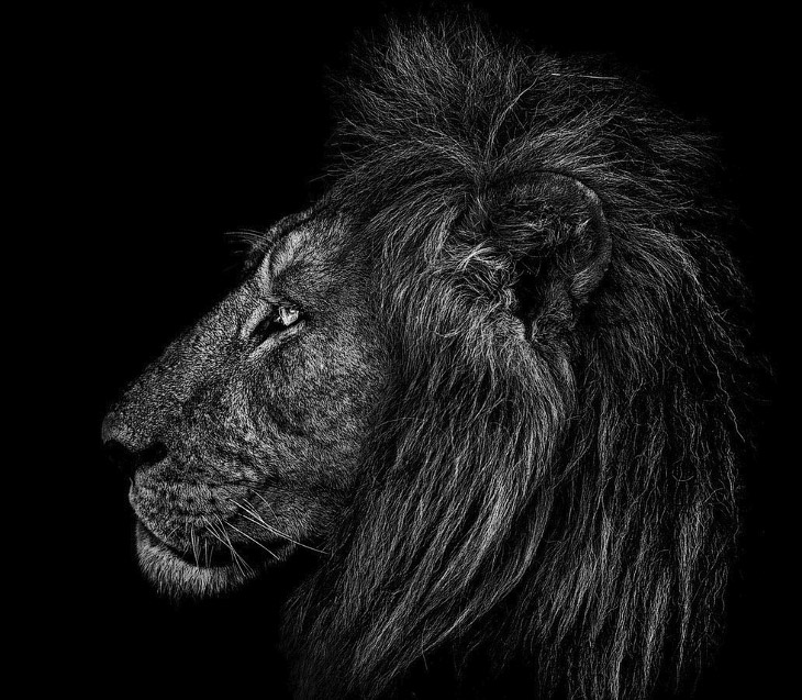 Король-лев в дельте реки Окаванго, Ботсвана