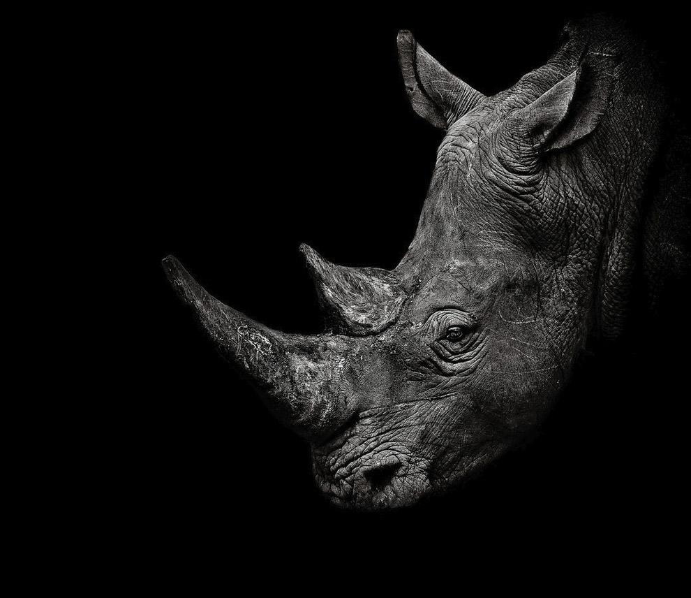 Белый носорог в национальном парке в Замбии