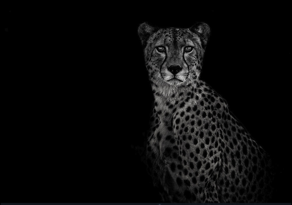 Гепард в пустыне Калахари, Ботсвана