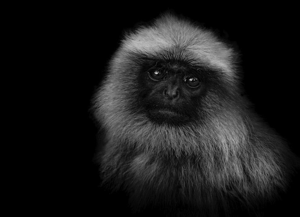 Лангур из рода обезьян из семейства Мартышковые