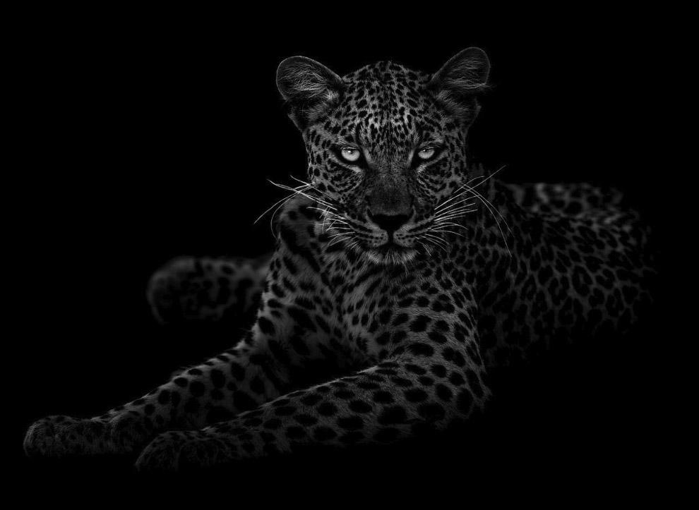Портрет леопарда, Центральная Калахари, Ботсвана