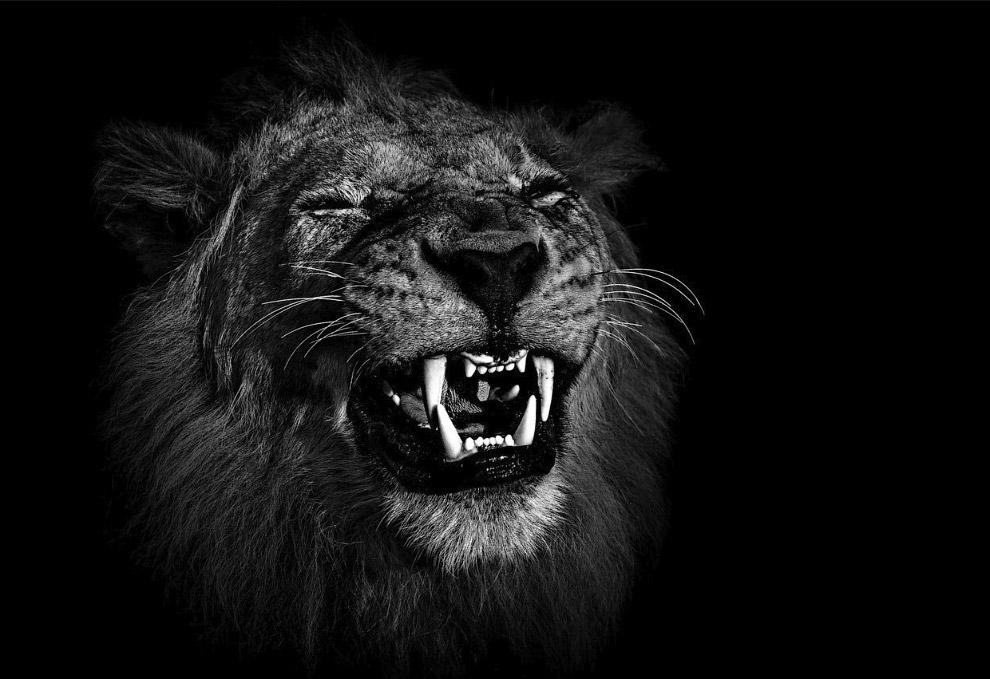 Лев в Ботсване