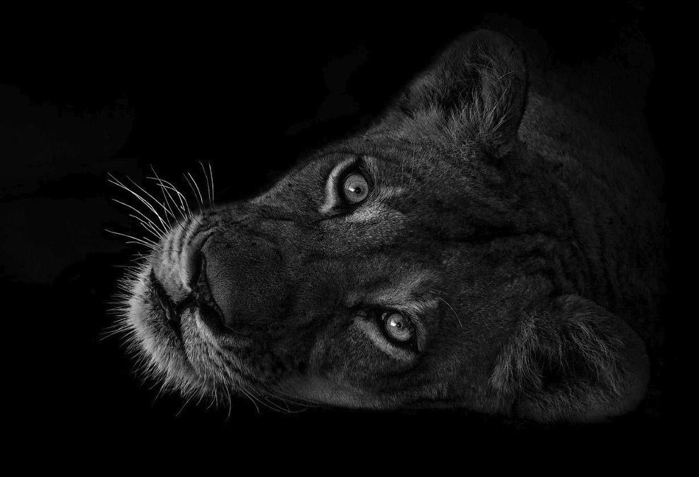 Сонная львица