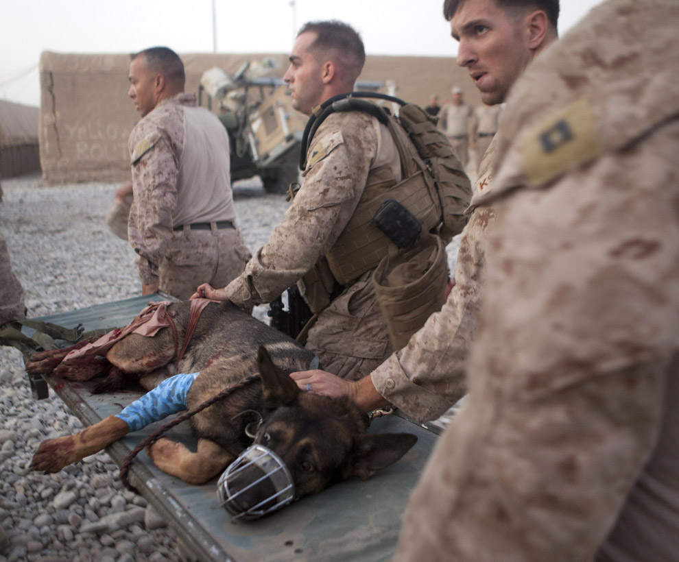 Раненый пес