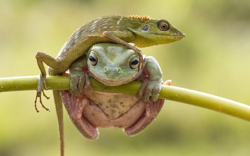 Ящерица и лягушка на дереве в Индонезии