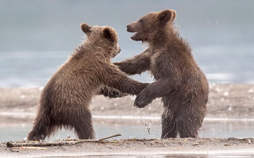 Медвежьи танцы у Курильского озера