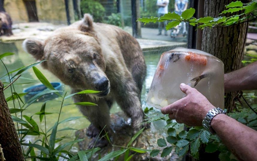 Замороженная рыба для медведя в жаркий день в зоопарке Нидерландов