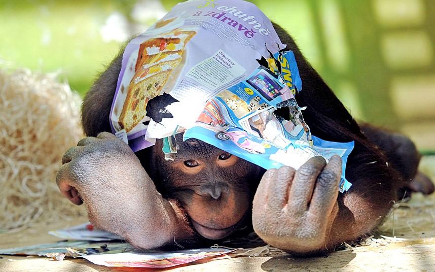 Начитанный орангутанг