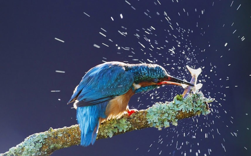 Зимородок оглушает только что пойманную рыбу