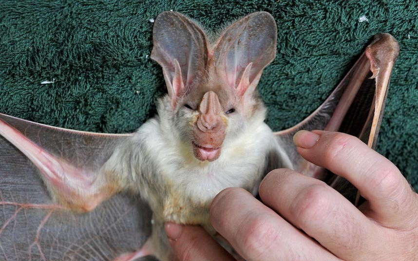 Очаровательная летучая мышь. Дарвин, Австралия