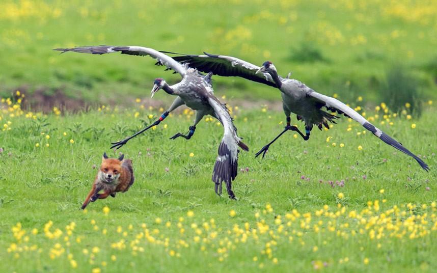 Разгневанные птицы прогоняют лису, которая решила навестить их гнездо с птенцами