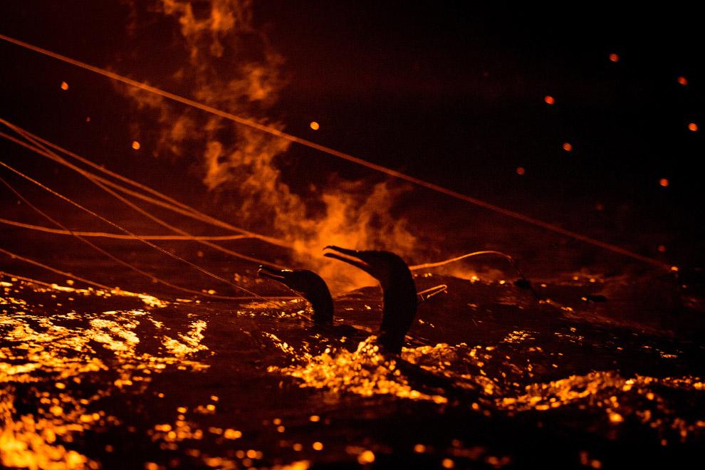 В Японии уже 1300 лет ловят форель при помощи бакланов вместо удочек