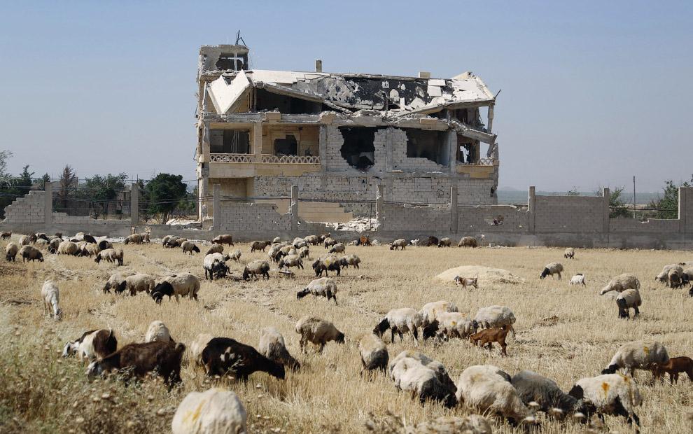 Овцы и заброшенное здание города Алеппо, истерзанного войной, Сирия