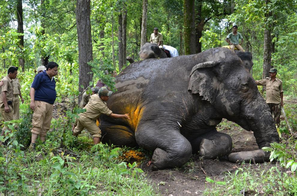 Индийские лесничие осматривают раненого дикого слона