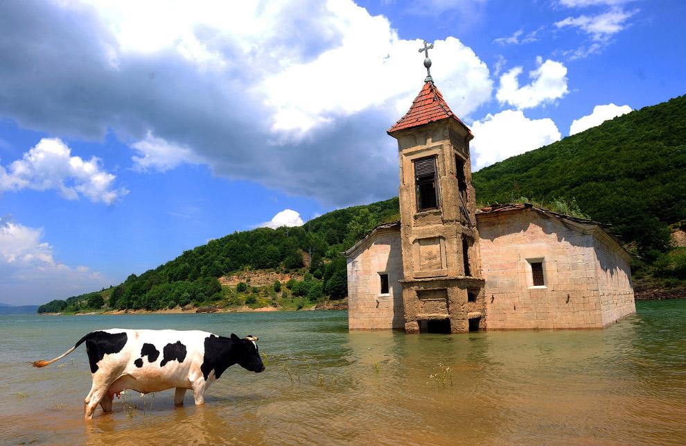 Корова и церковь Святого Николая недалеко от Скопье