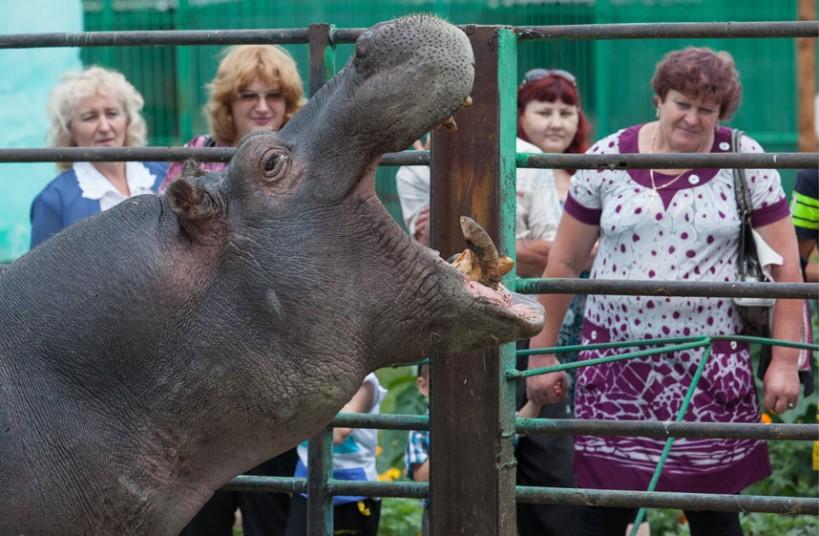 Бегемот зоопарке в городе Омск, Россия