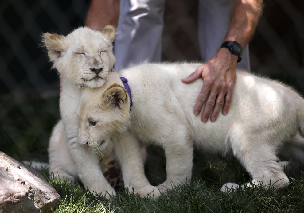 Белые львята в Лас-Вегасе