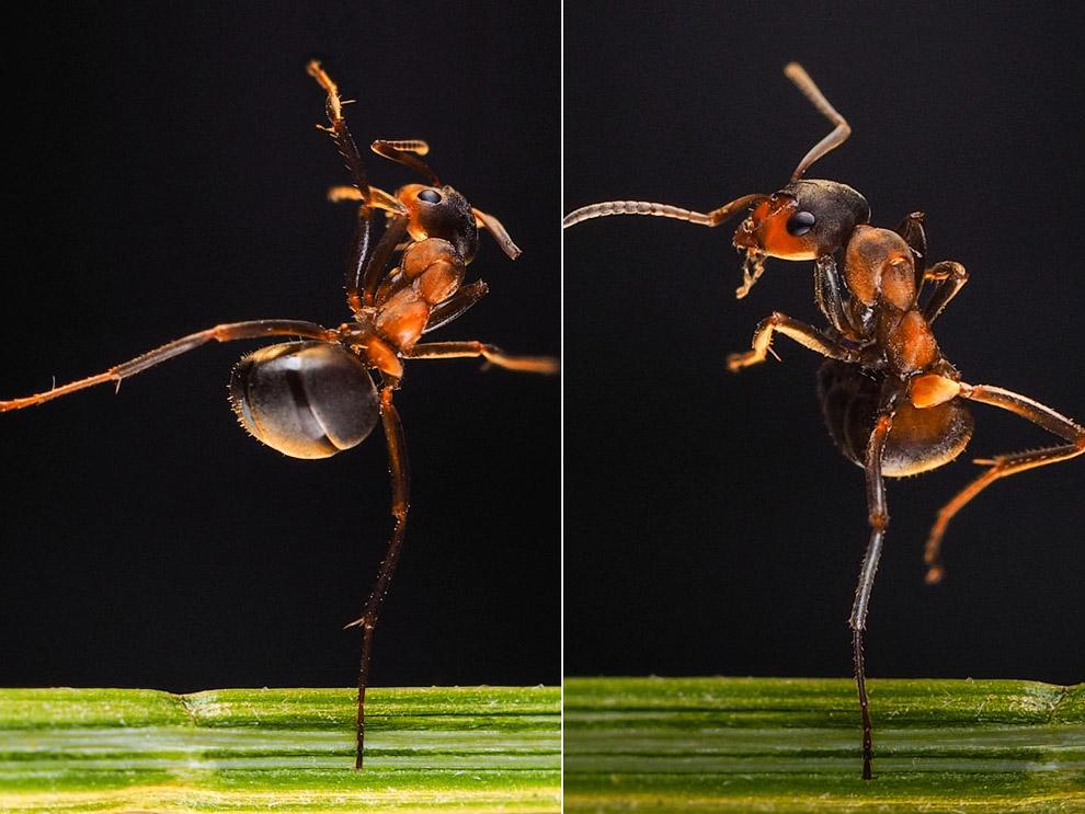 Эти снимки муравьев сделала фотограф Ирина Козорог в своей домашней студии в Москве