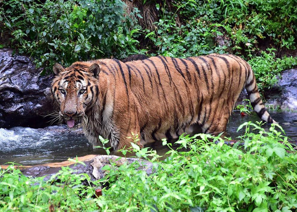 Тигр спасается от жары в воде в зоопарке, Южная Корея