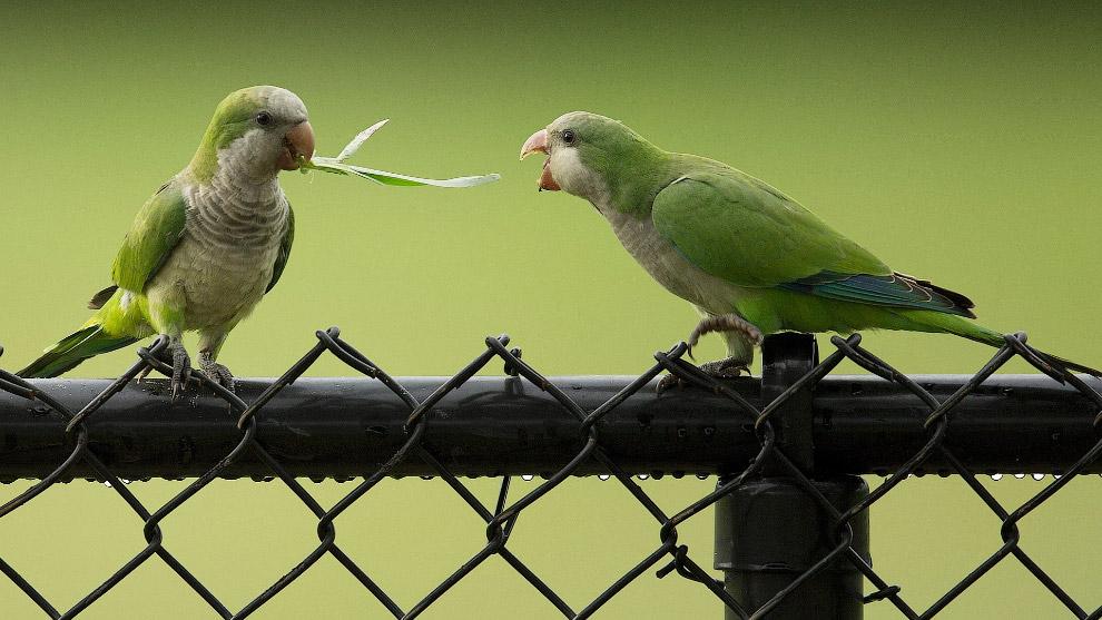 Пара попугает борются за вкусную травинку во Флориде