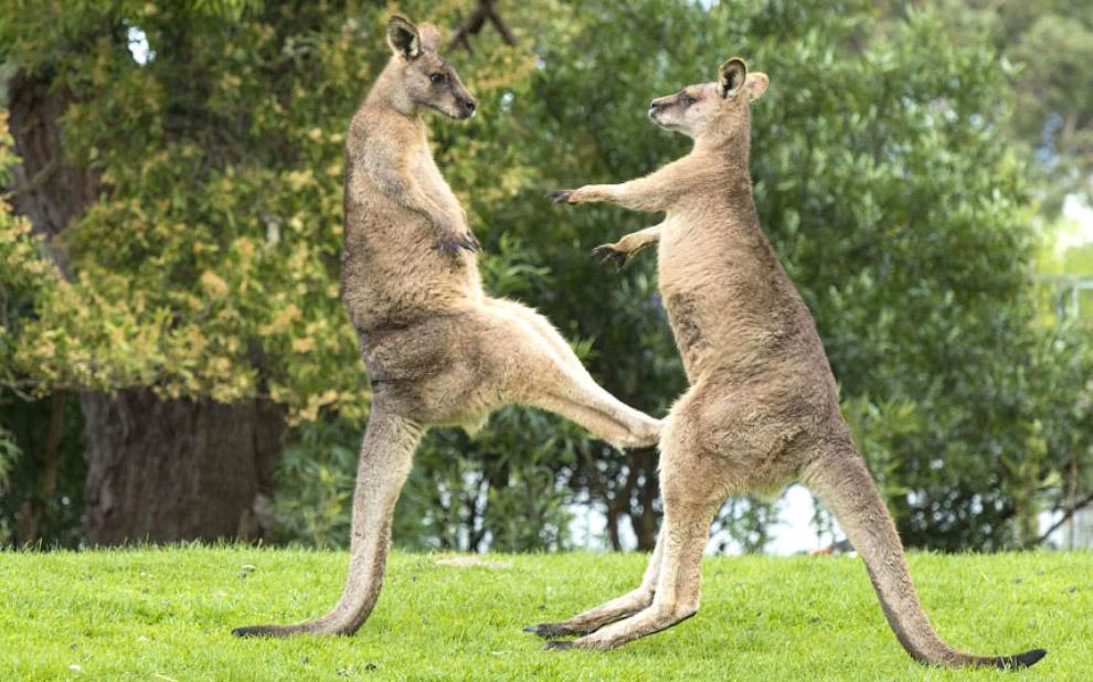 Борьба серых кенгуру в Тасмании, Австралия