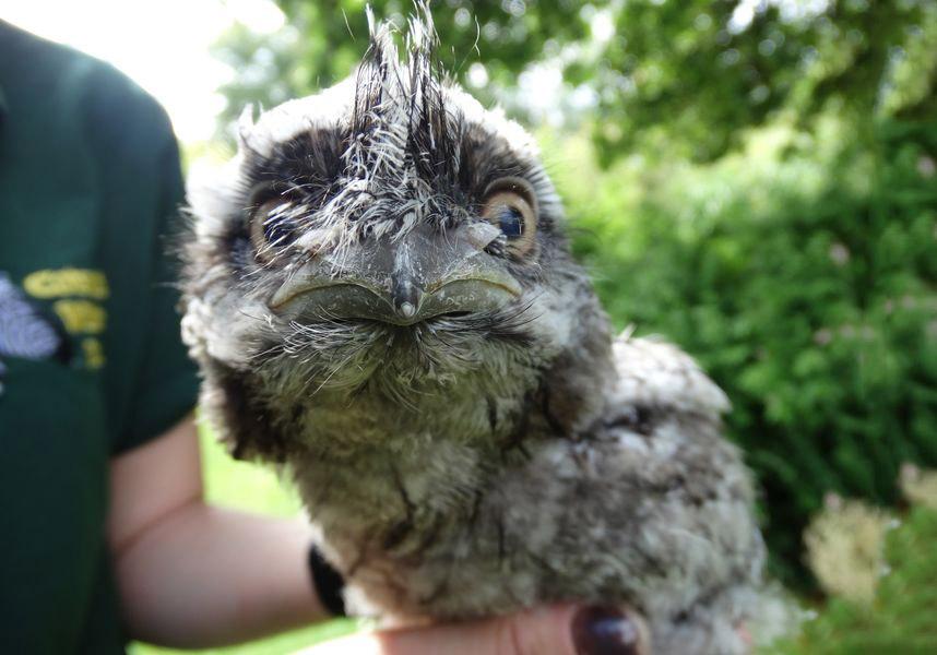 Так потешно выглядит детеныш совы