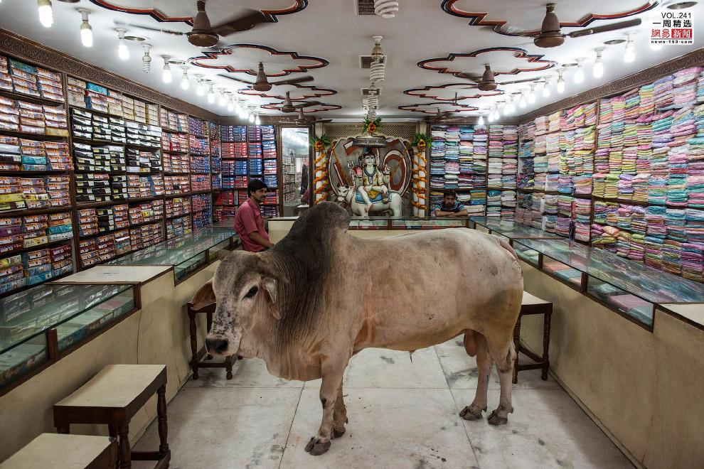 Корова зашла в магазин одежды в индийском штате Уттар-Прадеш