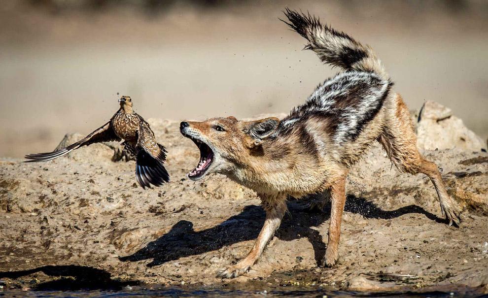 Птица чудом улетела от шакала на берегу