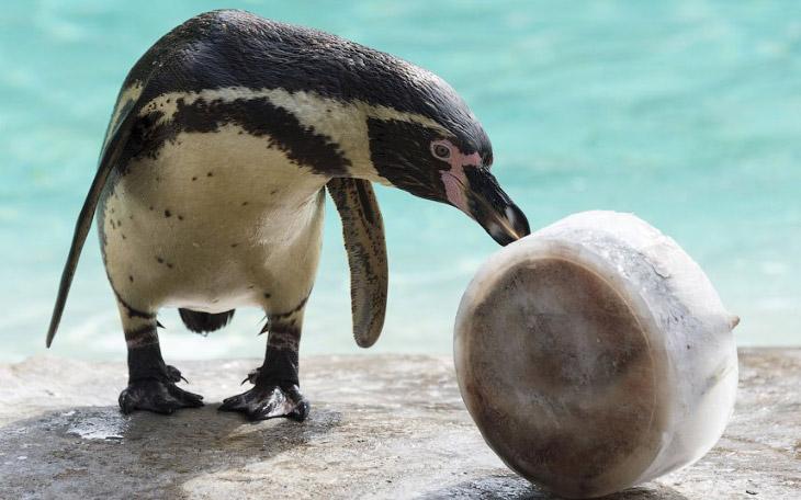 Рыбное мороженое для пингвина Гумбольдта в лондонском зоопарке