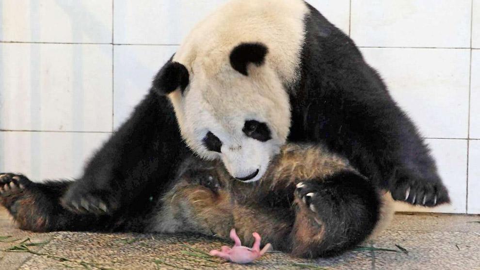 Большая панда смотрит на своего новорожденного