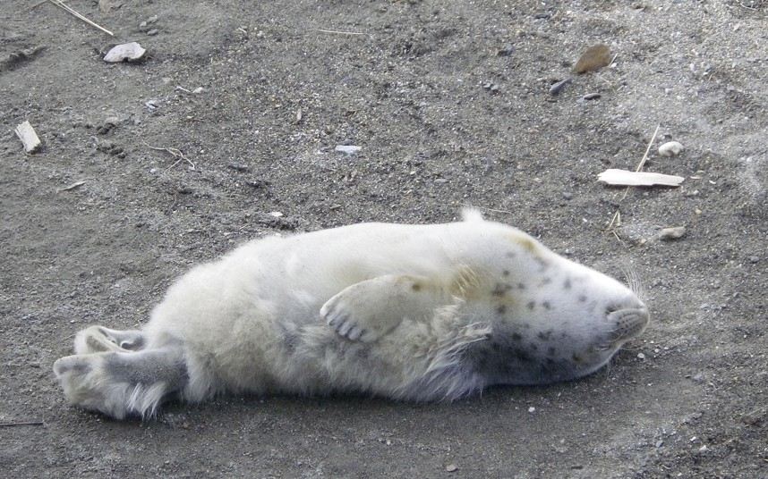 Белек — недавно рожденный тюлень на Аляске