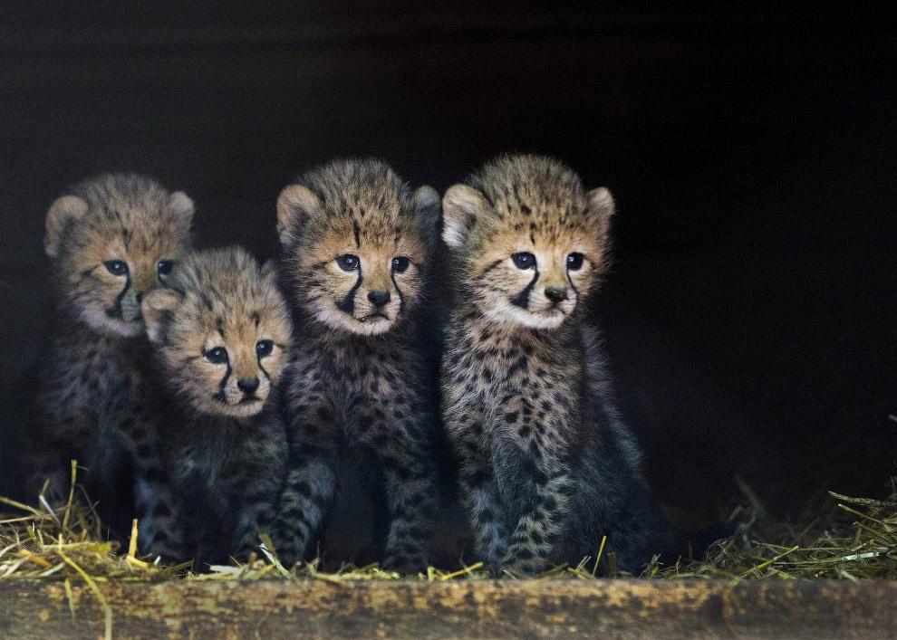 Четыре из шести детенышей гепарда в нидерландском зоопарке