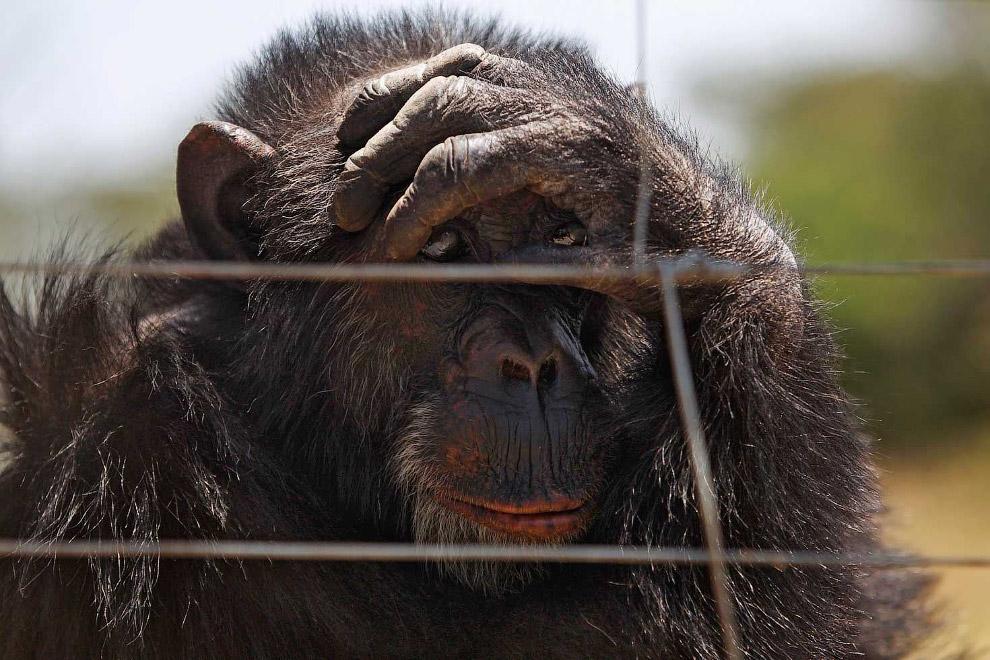 Этого шимпанзе спасли от незаконных торговцев дикой природы