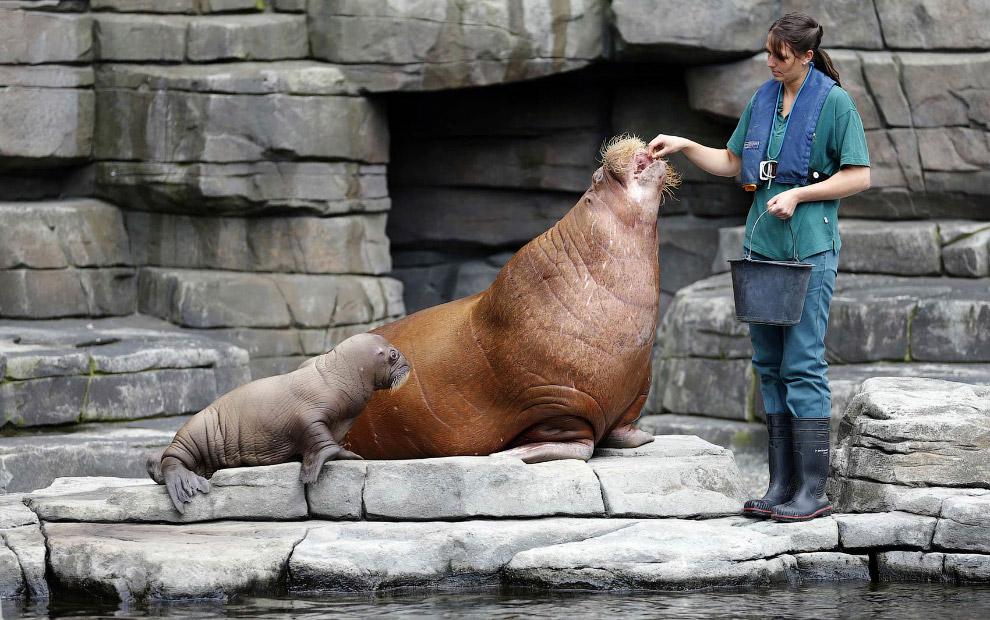 Кормежка семьи моржей в зоопарке в Гамбурге