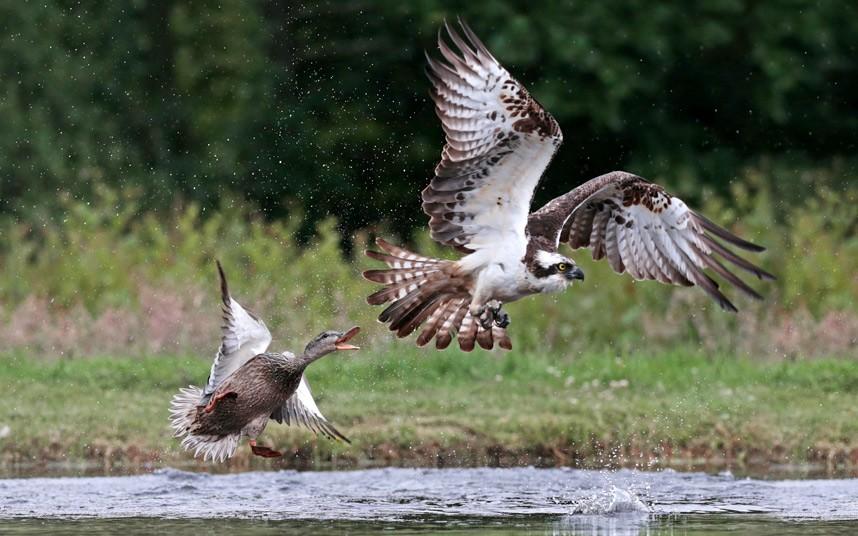 Отважная утка прогоняет скопу — хищную птицу — после ее неудачной попытки закусить хозяйкой этого водоема