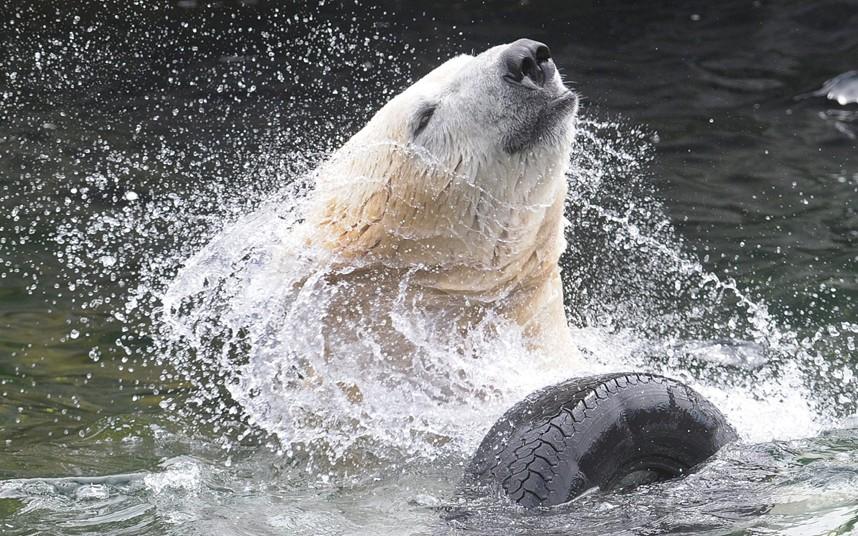 Белый медведь развлекается с автопокрышкой в зоопарке в Ганновере, Германия
